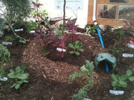 Mulch basin in a greywater-fed garden